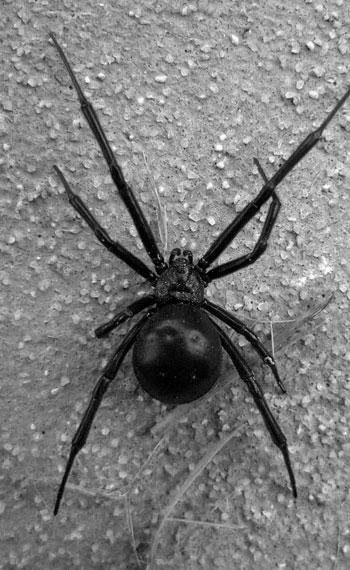 BlackWidowSpider